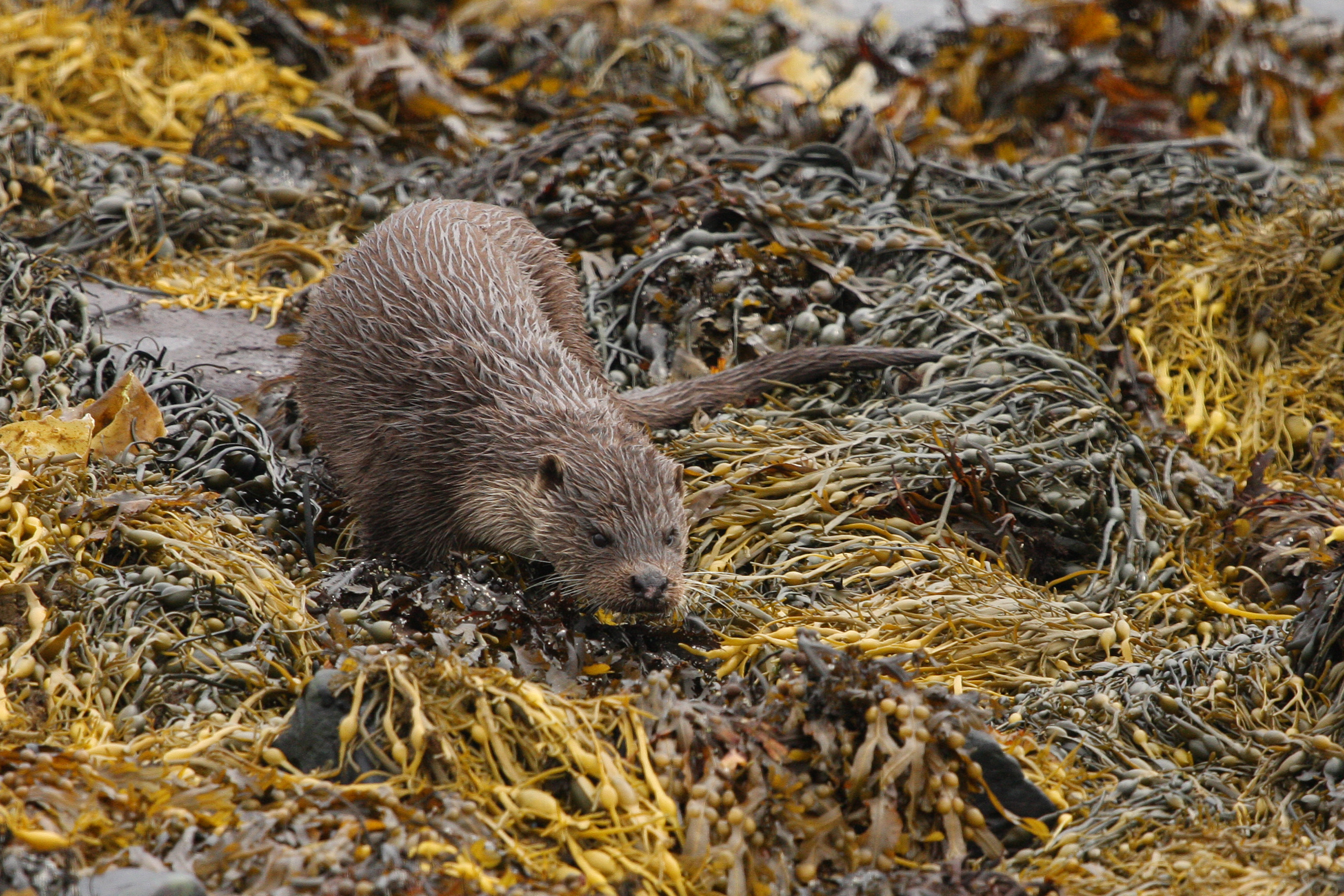 Young otter creeping through seaweed